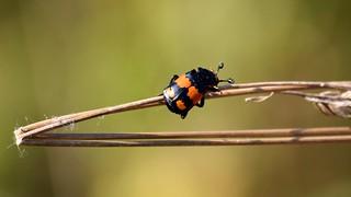 Carrion Beetle (Nicrophorus investigator)