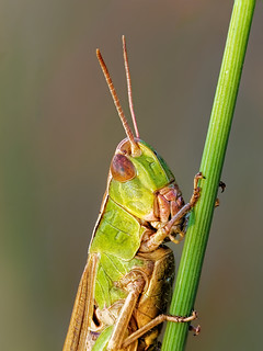 Grashüpfer - (Gomphocerinae)