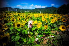 Catcher in the Sunflowers (moaan) Tags: awaji hyogo japan jp dog jackrussellterrier kinoko summer midsummer august wheeze sunflower fieldofsunflower garden flowergarden outdoor wideangle color yellow green sky clearsky heat summerheat hotday leica leicamp type240 leicaphotography voightlanderheliar15mmf45 15mm utata 2018