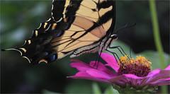 Eastern Tiger Swallowtail (ioensis) Tags: easterntigerswallowtail butterfly swallowtail papilioglaucus macro webstergroves missouri mo jdl ioensis august 2018 91220001808151b©johnlangholz2018