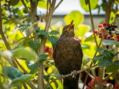 The siging bird in the tree (Herr Nergal) Tags: fz1000 lumix panasonic animal bird tier vogel closeup nature light smileonsaturday singing uniflona