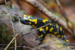 Feuersalamander (Aah-Yeah) Tags: feuersalamander salamander salamandra caudata firesalamander achental chiemgau bayern