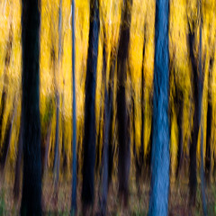 Autumn Afternoon In Woods 032 (noahbw) Tags: d5000 icm nikon ryersonwoodsforestpreserve abstract autumn blur branches forest intentionalcameramovement landscape leaves motion movement natural noahbw square treebark treetrunk trees woods