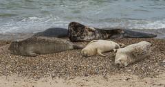 2018_Norfolk_HorseyBeach_Seals_c (atkiteach) Tags: norfolk uk england horsey horseybeach sea seaside northsea beach seal seals