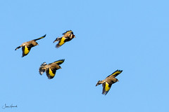 A charm of Goldfinches (J Harwood Images) Tags: 200500 2018 bird d500 england ganet nikon goldfinch yorkshire
