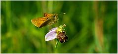 Skipper And Bee Orchid. (vegetus aer) Tags: woodwaltonmarshwildlife trustbcn wildlife trustcambridgeshirewildlifebeeorchidbee orchid skipper butterfly sony a77m2 sigma 105mm macro