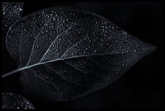 NG XX (*TimeBeacon*) Tags: leaf venation droplets blackandwhite bw blackwhite monochrome macro lilac tb dew