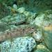 Juvenile brown trout in the Verzasca river (Salmo trutta fario) 2/3