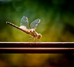 Dragonfly (Missy Jussy) Tags: dragonfly incect wings wire bokeh sunlight light closeup upclose 5d canon5dmarkll canon5d canoneos5dmarkii canon ef50mmf18ii 50mm fantastic50