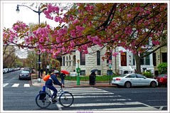 Cycling under the cherries (Rex Block) Tags: cyclingunderthecherries dc spring street trees cherry blossoms flowers pedestrians 17thst sst