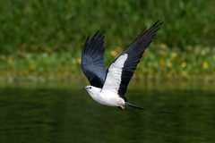 Swallow-tailed Kite (PeterBrannon) Tags: bird flight florida kite nature swallowtailedkite talons water wildlife drinking sikimming