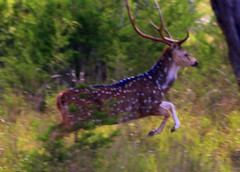 Axis Stag (austexican718) Tags: deer axis stag texas exotic wildlife centraltexas hillcountry game spotted spots foliage antlers nature boerne