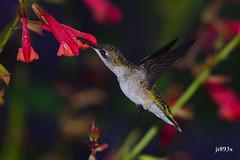 Ruby-throated Hummingbird (jt893x) Tags: 150600mm archilochuscolubris bif bird d500 flowers hummingbird jt893x nikon nikond500 rubythroatedhummingbird sigma sigma150600mmf563dgoshsms thesunshinegroup coth alittlebeauty coth5 ngc