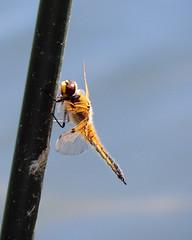 Four Spotted Chaser (Mama_Kin) Tags: dragonfly dragonflies damselfly damselflies odonata zygoptera