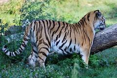 Tiger (Hugo von Schreck) Tags: hugovonschreck tiger cat katze canoneos5dmarkiii tamronsp150600mmf563divcusda011
