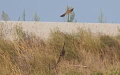 Busard cendré, attaqué par une faucon crécerelle - IMG_6681 (6franc6) Tags: occitanie languedoc gard 30 petite camargue août 2018 6franc6 vélo kalkoff vae
