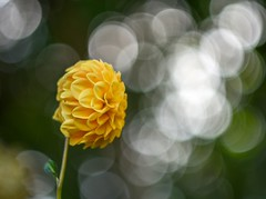 Dahlia (agnieszka.a.morawska) Tags: bkhq bokehlicious beyondbokeh nikon helios helios44m macro dof bokeh garden summer flower dahlia dalia