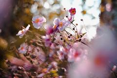 endless summer? (thethomsn) Tags: endless summer floral flowers blossom pink rose nature bokeh dof closeup blumen natur
