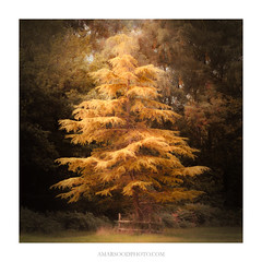 Belle of the Ball (Amar Sood) Tags: amarsoodphotocom amarsoodphotography landscape landscapes tree nature nationaltrust ashridgeestate intimatelandscape sony a7rii 702004