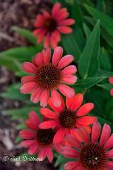 ConeFlower (Sohail-Siddique) Tags: coneflower flower pink pollen bunch gardening garden sohail mississauga riverwood canada petals nature sohailsiddique summerflowers freshness outdoor flowersofriverwood