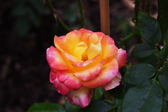 DSC_0957 (PeaTJay) Tags: nikond750 sigma reading lowerearley berkshire macro micro closeups gardens outdoors nature flora fauna plants flowers rose roses rosebuds