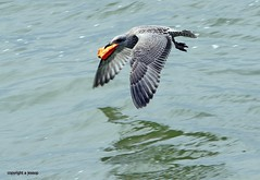 Gull J78A0874 (M0JRA) Tags: gulls birds flight flying wildlife rats walks gardens parks fields trees lakes ponds ducks swans rspb