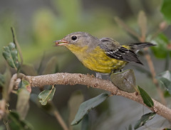 Magnolia Warbler With Berry (ruthpphoto) Tags: magnoliawarbler