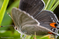 Gray Hairstreak (Brian M Hale) Tags: hairstreak butterfly butterflies macro tiny small mega extreme guacfuser close up closeup wings nature outside outdoors natural boylston ma mass massachusetts newengland new england usa tower hill botanic garden brian hale brianhalephoto