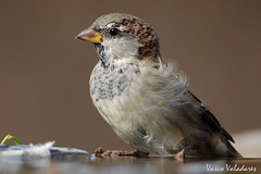 Pardal-comum, House sparrow (Passer domesticus) (Vasco VALADARES) Tags: pardalcomum housesparrow passerdomesticus birds bird wing wings feather feathers nature wildlife naturephotography aves ave canon