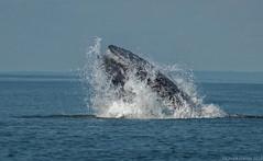 Humpback Whale (Chuck Hantis) Tags: