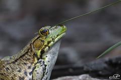 Green Frog (JBtheExplorer) Tags: green frog stout blueeyed grass leaf blue eyed sisyrinchium angustifolium lithobates clamitans amphibian wisconsin native plants habitat garden pond
