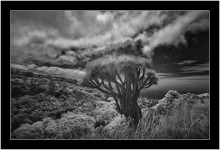 Dragon tree, Garafía, La Palma, Sony A7 IR, Nikkor 18mm/3.5