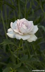 soft light (rumimume) Tags: potd rumimume 2018 niagara ontario canada photo canon 80d summersun outdoor plant flower rose softlight pink