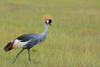 Grey Crowned Crane - 9563b+