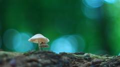 Fungi Photography - Vintage Lens (Visual Stripes) Tags: fungi fungus mushrooms mushroom nature bokehlicious bokeh panasoniclumixg2 meyeroptik vintage lens manualfocus microfourthirds mft m43