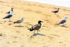 Seagull pals (thomasgorman1) Tags: gulls seagulls seagull nature nikon la ca california shore sand zuma