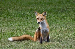 The Scratch (hd.niel) Tags: redfox fox animal wildlife lakeontario nature photography tail behavioural foxes