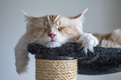 Flat Pablo sleeping (Tambako the Jaguar) Tags: domestic cat mainecoon male pet cute sleeping tired flat portrait tree funny cream creme tabby beige paws fällanden zürich switzerland nikon d850