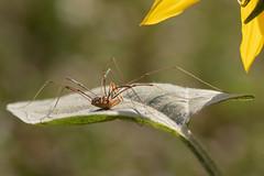 spider (Bea Antoni) Tags: macro makro canon bokeh sommer natur nature summer animal spinne spider