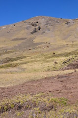 Alpacas (Ryan Hadley) Tags: alpaca animals hiking nature landscape valley laresvalley sacredvalley peru andesmountains andes mountains southamerica mountainlodgesofperu