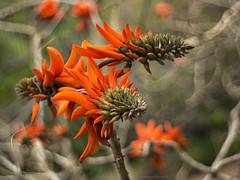 fire and smoke (gnarlydog) Tags: australia plant flower bokeh orange colorful speckledhighlights texture shallowdepthoffield manualfocus refittedlens vintagelens kodakektanar44mmf28 adaptedlens smoky dreamy vintagelenseffect