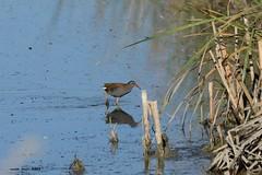 Rascló (Enllasez - Enric LLaó) Tags: rascló rascóneuropeo aves aus bird birds ocells pájaros 2012 deltadelebre deltadelebro delta rietvell