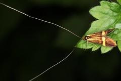 Nemophora degeerella mâle (chug14) Tags: nemophoradegeerella macro insecte nature naturephotography animalia arthropoda hexapoda insecta lepidoptera adelidae adelinae coquilledor adeladegeerella phalaenadegeerella nemophora