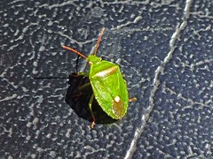 A Day In Kings Park, Perth, Western Australia (AdamsWife) Tags: westernaustralia perth kingspark plants flower flora wildflowers nature shieldbug green insect bug