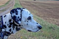 Morgenspaziergang. (jens.steinbeisser) Tags: deutschland tierfotografie dalmatiner hund hundefotografie lightzone pentaxk5ii niedersachsen outdoor hunderasse portrait