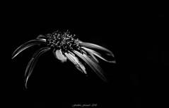 Black Flower (Frédéric Fossard) Tags: monochrome noiretblanc blackandwhite fondnoir art abstrait surréaliste texture flower floral végétation nature botanique bokeh pétale séneçon florealpine fleurdesmontagnes fleursauvage lumière light pistil flou profondeurdechamp flowerhead