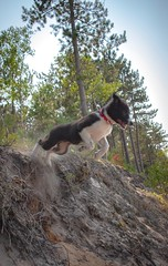 Jumping off the dunes (Ben_ProPhotography) Tags: animal wilderness nature actionshot nikond5600 professionalphotographer lakesuperior landscape bordercollie puppy dog