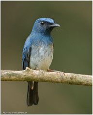 White-bellied blue flycatcher (Aravind Venkatraman) Tags: 2017 av aravind aravindvenkatraman bird birdsofindia canon chennaibirdphotographer indianbirds wildlife wildlifephotographer cyornis pallipes cyornispallipes whitebellied blue flycatcher whitebelliedblueflycatcher avphotography avfotography avaineyescom birds birdphotographer birdphotography birder birding birdsindia birdwatching india indiabirds indian incredibleindia