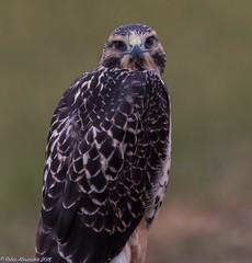Baby Swainson's Hawk .... giving me the eye (K.R. Alexander) Tags: albertabirds raptor birdsofprey swainson'shawk hawk nikon810