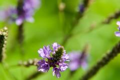 DSC_0295 (crockettcrew) Tags: nature plant flower purple macro backyard
